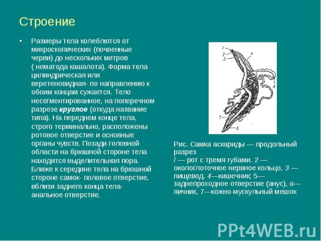Строение Размеры тела колеблются от микроскопических (почвенные черви) до нескольких метров ( нематода кашалота). Форма тела цилиндрическая или веретеновидная- по направлению к обоим концам сужается. Тело несегментированное, на поперечном разрезе кр…