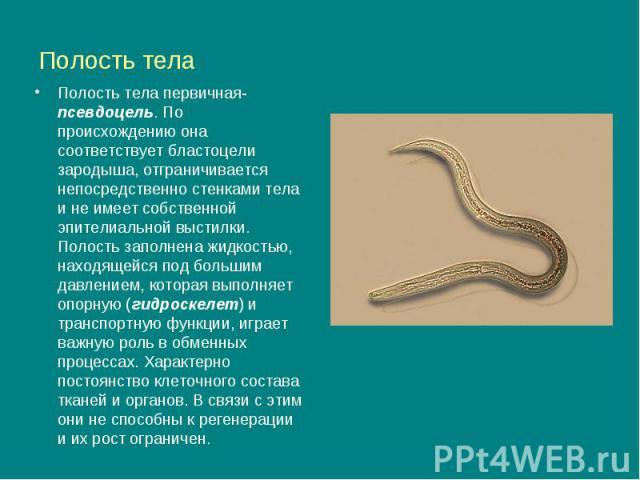 Полость тела Полость тела первичная- псевдоцель. По происхождению она соответствует бластоцели зародыша, отграничивается непосредственно стенками тела и не имеет собственной эпителиальной выстилки. Полость заполнена жидкостью, находящейся под больши…