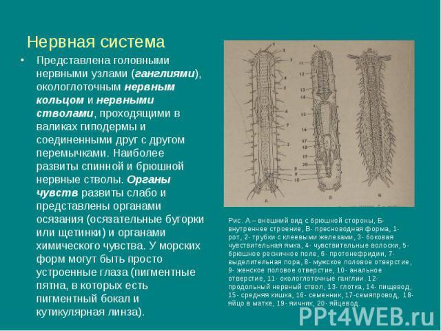 Нервная система Представлена головными нервными узлами (ганглиями), окологлоточным нервным кольцом и нервными стволами, проходящими в валиках гиподермы и соединенными друг с другом перемычками. Наиболее развиты спинной и брюшной нервные стволы. Орга…