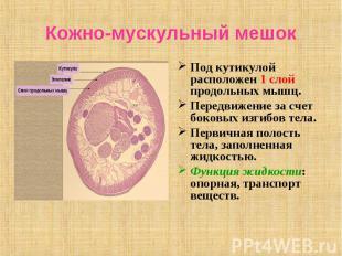 Под кутикулой расположен 1 слой продольных мышц. Под кутикулой расположен 1 слой