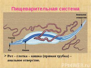 Рот – глотка – кишка (прямая трубка) – анальное отверстие. Рот – глотка – кишка