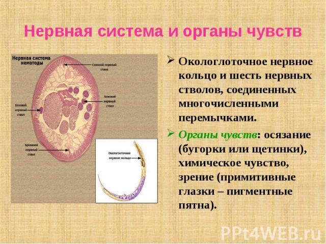 Окологлоточное нервное кольцо и шесть нервных стволов, соединенных многочисленными перемычками. Окологлоточное нервное кольцо и шесть нервных стволов, соединенных многочисленными перемычками. Органы чувств: осязание (бугорки или щетинки), химическое…