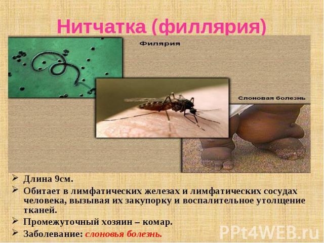 Длина 9см. Длина 9см. Обитает в лимфатических железах и лимфатических сосудах человека, вызывая их закупорку и воспалительное утолщение тканей. Промежуточный хозяин – комар. Заболевание: слоновья болезнь.