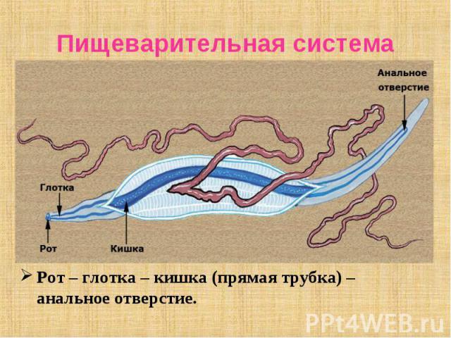 Рот – глотка – кишка (прямая трубка) – анальное отверстие. Рот – глотка – кишка (прямая трубка) – анальное отверстие.