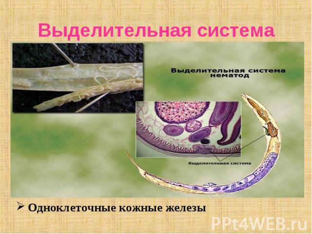 Одноклеточные кожные железы Одноклеточные кожные железы