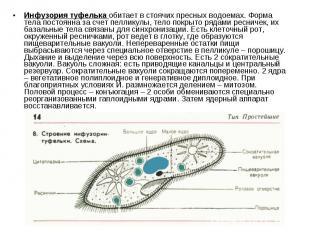 Инфузория туфелька обитает в стоячих пресных водоемах. Форма тела постоянна за с