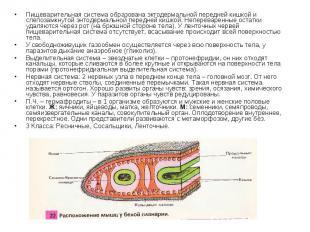 Пищеварительная система образована эктодермальной передней кишкой и слепозамкнут