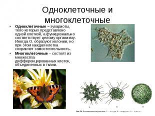 Одноклеточные – эукариоты, тело которых представлено одной клеткой, а функционал