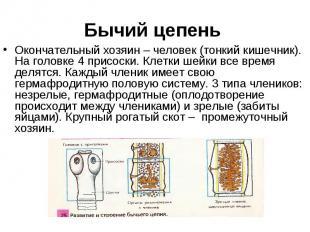 Окончательный хозяин – человек (тонкий кишечник). На головке 4 присоски. Клетки