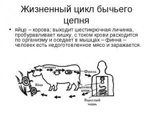 яйцо – корова; выходит шестикрючная личинка, пробуравливает кишку, с током крови