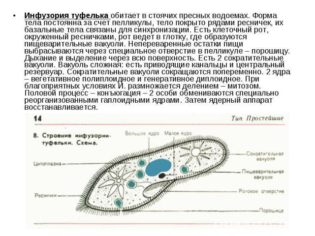 Инфузория туфелька обитает в стоячих пресных водоемах. Форма тела постоянна за счет пелликулы, тело покрыто рядами ресничек, их базальные тела связаны для синхронизации. Есть клеточный рот, окруженный ресничками, рот ведет в глотку, где образуются п…