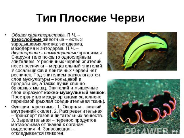 Общая характеристика. П.Ч. – трехслойные животные – есть 3 зародышевых листка: эктодерма, мезодерма и энтодерма. П.Ч. – двусторонне - симметричные организмы. Снаружи тело покрыто однослойным эпителием. У ресничных червей эпителий несет реснички – ме…