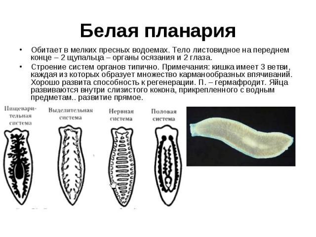 Обитает в мелких пресных водоемах. Тело листовидное на переднем конце – 2 щупальца – органы осязания и 2 глаза. Обитает в мелких пресных водоемах. Тело листовидное на переднем конце – 2 щупальца – органы осязания и 2 глаза. Строение систем органов т…