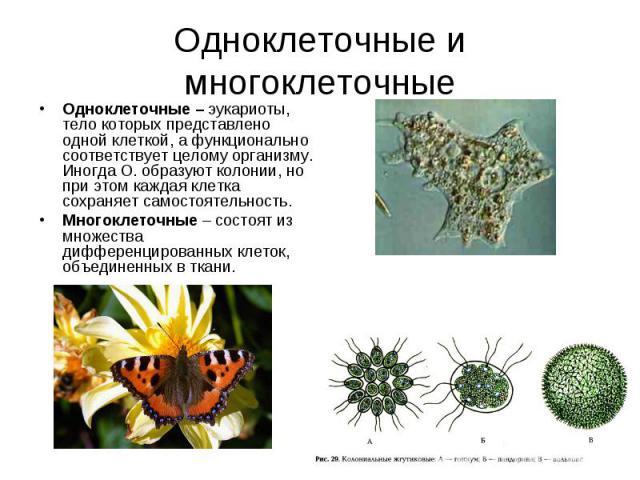 Одноклеточные – эукариоты, тело которых представлено одной клеткой, а функционально соответствует целому организму. Иногда О. образуют колонии, но при этом каждая клетка сохраняет самостоятельность. Одноклеточные – эукариоты, тело которых представле…