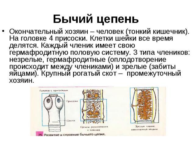Окончательный хозяин – человек (тонкий кишечник). На головке 4 присоски. Клетки шейки все время делятся. Каждый членик имеет свою гермафродитную половую систему. 3 типа члеников: незрелые, гермафродитные (оплодотворение происходит между члениками) и…