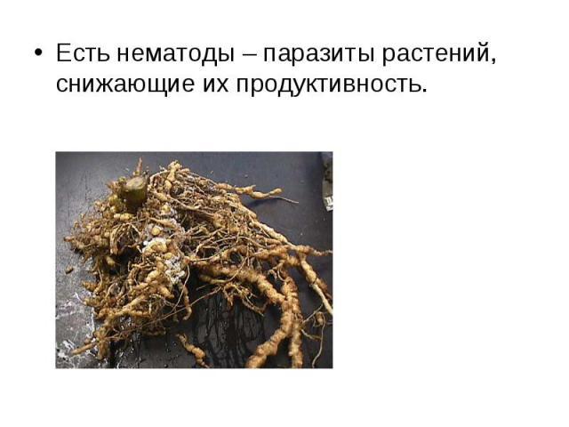 Есть нематоды – паразиты растений, снижающие их продуктивность. Есть нематоды – паразиты растений, снижающие их продуктивность.