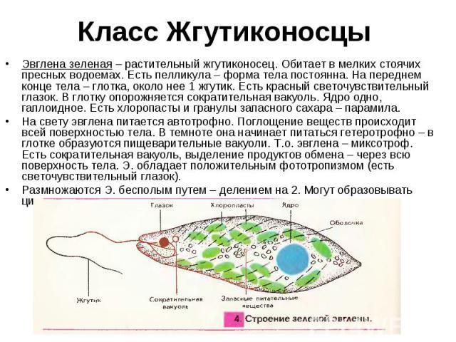 Эвглена зеленая – растительный жгутиконосец. Обитает в мелких стоячих пресных водоемах. Есть пелликула – форма тела постоянна. На переднем конце тела – глотка, около нее 1 жгутик. Есть красный светочувствительный глазок. В глотку опорожняется сократ…
