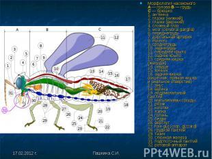 Морфология насекомого A— голова B— грудь C— брюшко 1. антенна