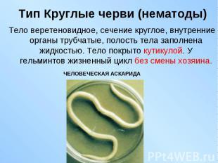 Тело веретеновидное, сечение круглое, внутренние органы трубчатые, полость тела
