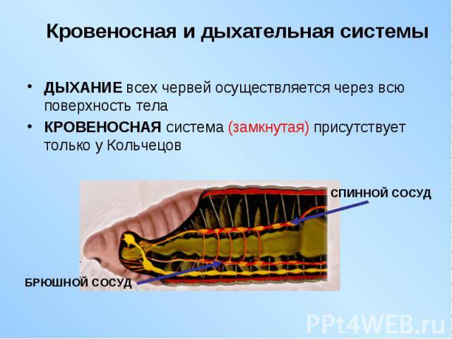 ДЫХАНИЕ всех червей осуществляется через всю поверхность тела ДЫХАНИЕ всех червей осуществляется через всю поверхность тела КРОВЕНОСНАЯ система (замкнутая) присутствует только у Кольчецов