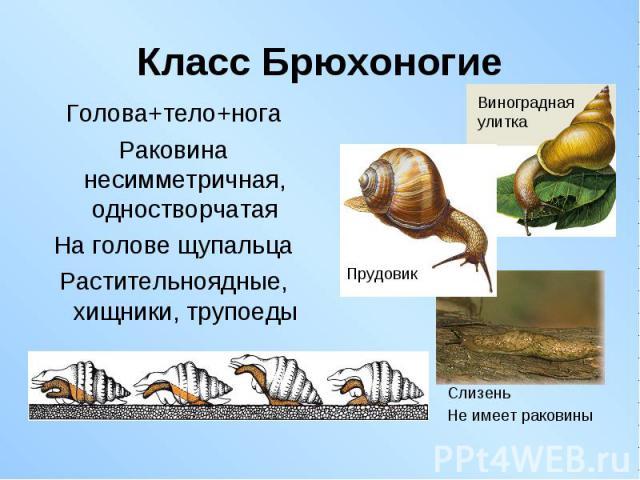 Голова+тело+нога Голова+тело+нога Раковина несимметричная, одностворчатая На голове щупальца Растительноядные, хищники, трупоеды