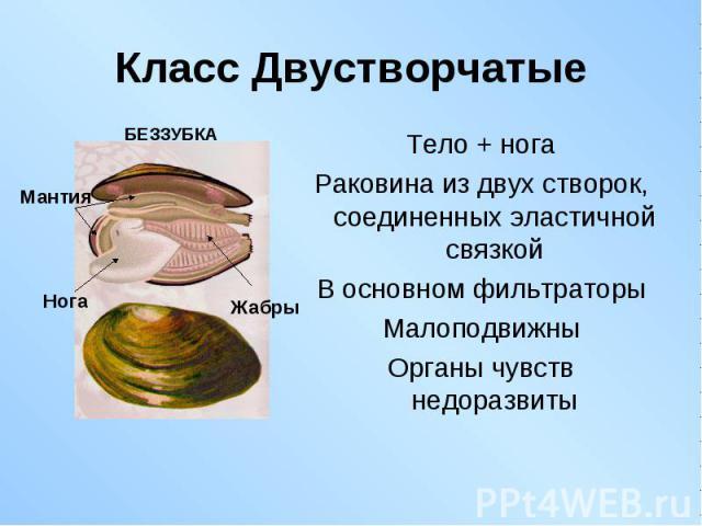 Тело + нога Тело + нога Раковина из двух створок, соединенных эластичной связкой В основном фильтраторы Малоподвижны Органы чувств недоразвиты