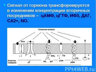 Сигнал от гормона трансформируется в изменении концентрации вторичных посреднико