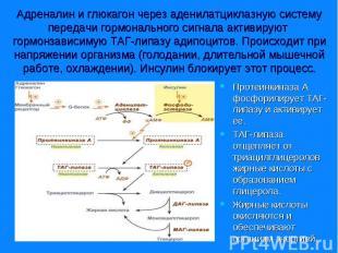 Протеинкиназа А фосфорилирует ТАГ-липазу и активирует ее. Протеинкиназа А фосфор