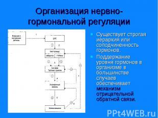 Существует строгая иерархия или соподчиненность гормонов. Существует строгая иер