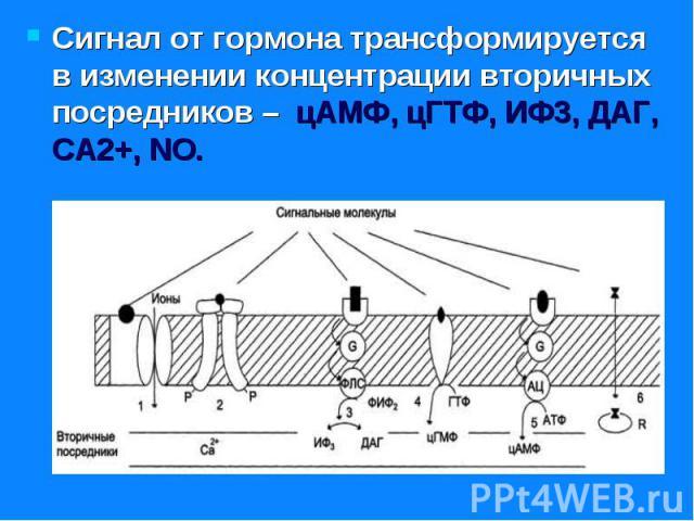 Сигнал от гормона трансформируется в изменении концентрации вторичных посредников – цАМФ, цГТФ, ИФ3, ДАГ, СА2+, NO. Сигнал от гормона трансформируется в изменении концентрации вторичных посредников – цАМФ, цГТФ, ИФ3, ДАГ, СА2+, NO.