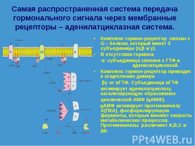 Комплекс гормон-рецептор связан с G – белком, который имеет 3 субъединицы (α,β и γ). Комплекс гормон-рецептор связан с G – белком, который имеет 3 субъединицы (α,β и γ). В отсутствии гормона α- субъединица связана с ГТФ и аденилатциклазой. Комплекс …