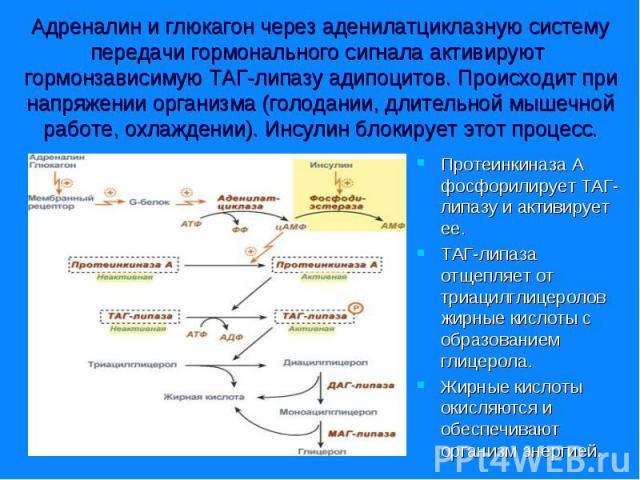 Протеинкиназа А фосфорилирует ТАГ-липазу и активирует ее. Протеинкиназа А фосфорилирует ТАГ-липазу и активирует ее. ТАГ-липаза отщепляет от триацилглицеролов жирные кислоты с образованием глицерола. Жирные кислоты окисляются и обеспечивают организм …
