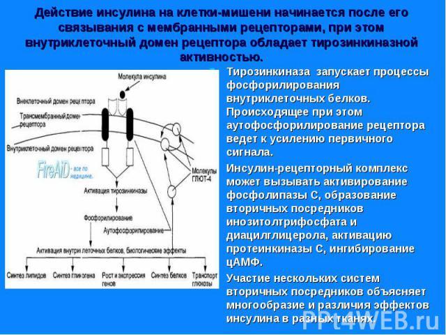 Тирозинкиназа запускает процессы фосфорилирования внутриклеточных белков. Происходящее при этом аутофосфорилирование рецептора ведет к усилению первичного сигнала. Тирозинкиназа запускает процессы фосфорилирования внутриклеточных белков. Происходяще…