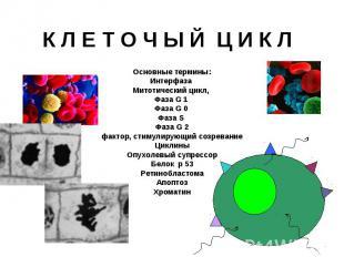 К Л Е Т О Ч Ы Й Ц И К Л Основные термины: Интерфаза Митотический цикл, Фаза G 1