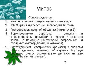 Митоз Сопровождается: Компактизацией, конденсацией хромосом, в 10 000 раз в нукл