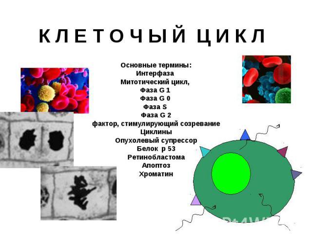 К Л Е Т О Ч Ы Й Ц И К Л Основные термины: Интерфаза Митотический цикл, Фаза G 1 Фаза G 0 Фаза S Фаза G 2 фактор, стимулирующий созревание Циклины Опухолевый супрессор Белок p 53 Ретинобластома Апоптоз Хроматин