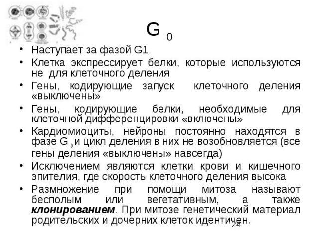 G 0 Наступает за фазой G1 Клетка экспрессирует белки, которые используются не для клеточного деления Гены, кодирующие запуск клеточного деления «выключены» Гены, кодирующие белки, необходимые для клеточной дифференцировки «включены» Кардиомиоциты, н…
