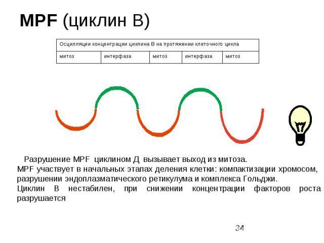 MPF (циклин В)