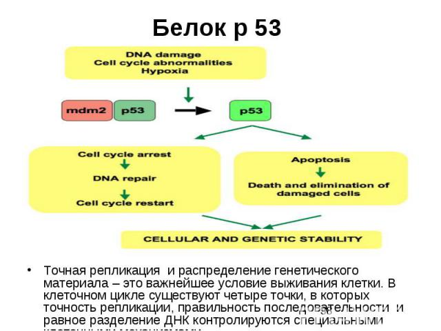 Белок р 53 Точная репликация и распределение генетического материала – это важнейшее условие выживания клетки. В клеточном цикле существуют четыре точки, в которых точность репликации, правильность последовательности и равное разделение ДНК контроли…