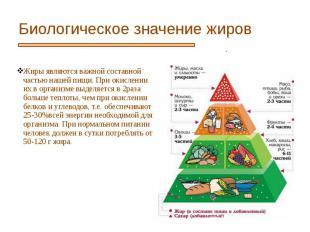 Биологическое значение жиров Жиры являются важной составной частью нашей пищи. П