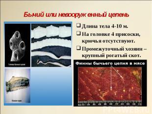 Длина тела 4-10 м. Длина тела 4-10 м. На головке 4 присоски, крючья отсутствуют.