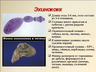 Длина тела 3-6 мм, тело состоит из 3-4 члеников. Длина тела 3-6 мм, тело состоит