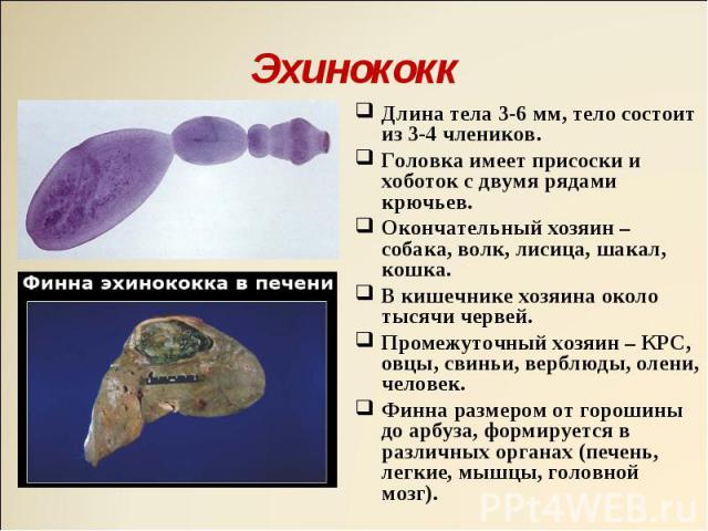 Длина тела 3-6 мм, тело состоит из 3-4 члеников. Длина тела 3-6 мм, тело состоит из 3-4 члеников. Головка имеет присоски и хоботок с двумя рядами крючьев. Окончательный хозяин – собака, волк, лисица, шакал, кошка. В кишечнике хозяина около тысячи че…