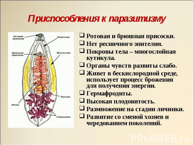 Ротовая и брюшная присоски. Ротовая и брюшная присоски. Нет ресничного эпителия. Покровы тела – многослойная кутикула. Органы чувств развиты слабо. Живет в бескислородной среде, использует процесс брожения для получения энергии. Гермафродиты. Высока…