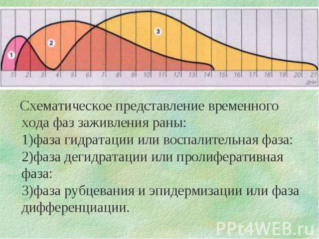 Схематическое представление временного хода фаз заживления раны: 1)фаза гидратации или воспалительная фаза: 2)фаза дегидратации или пролиферативная фаза: 3)фаза рубцевания и эпидермизации или фаза дифференциации.
