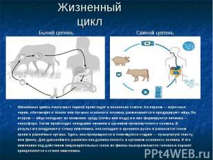 Жизненный цикл Жизненные циклы ленточных червей происходят в несколько этапов. Н
