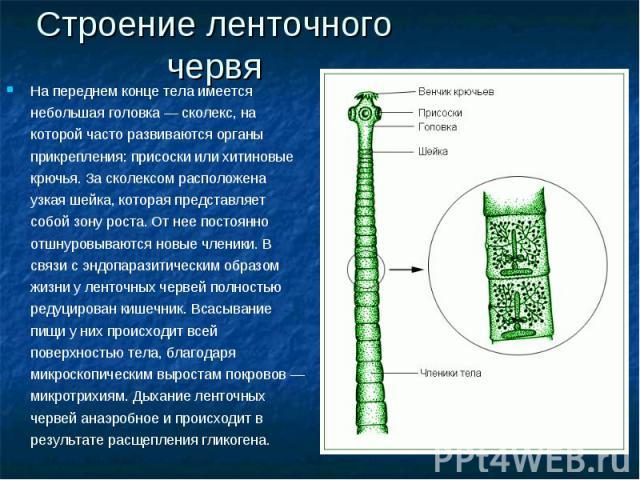 Строение ленточного червя На переднем конце тела имеется небольшая головка — сколекс, на которой часто развиваются органы прикрепления: присоски или хитиновые крючья. За сколексом расположена узкая шейка, которая представляет собой зону роста. От не…