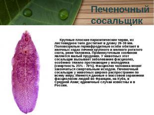 Крупные плоские паразитические черви, их листовидное тело достигает в длину 26-3