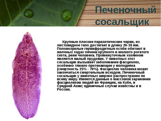 Крупные плоские паразитические черви, их листовидное тело достигает в длину 26-30 мм. Половозрелые гермафродитные особи обитают в желчных ходах печени крупного и мелкого рогатого скота, реже человека. Промежуточным хозяином является малый прудовик. …