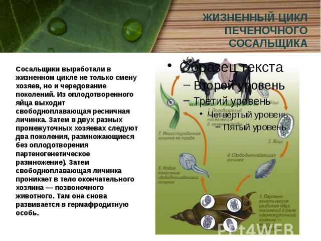 ЖИЗНЕННЫЙ ЦИКЛ ПЕЧЕНОЧНОГО СОСАЛЬЩИКА Сосальщики выработали в жизненном цикле не только смену хозяев, но и чередование поколений. Из оплодотворенного яйца выходит свободноплавающая ресничная личинка. Затем в двух разных промежуточных хозяевах следую…